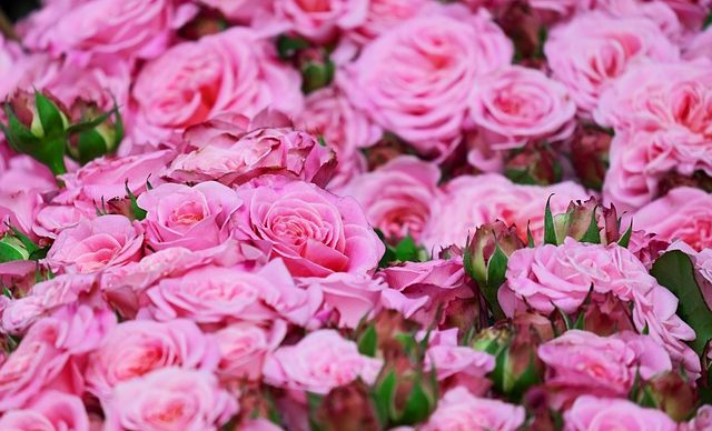 roses-3436439_640